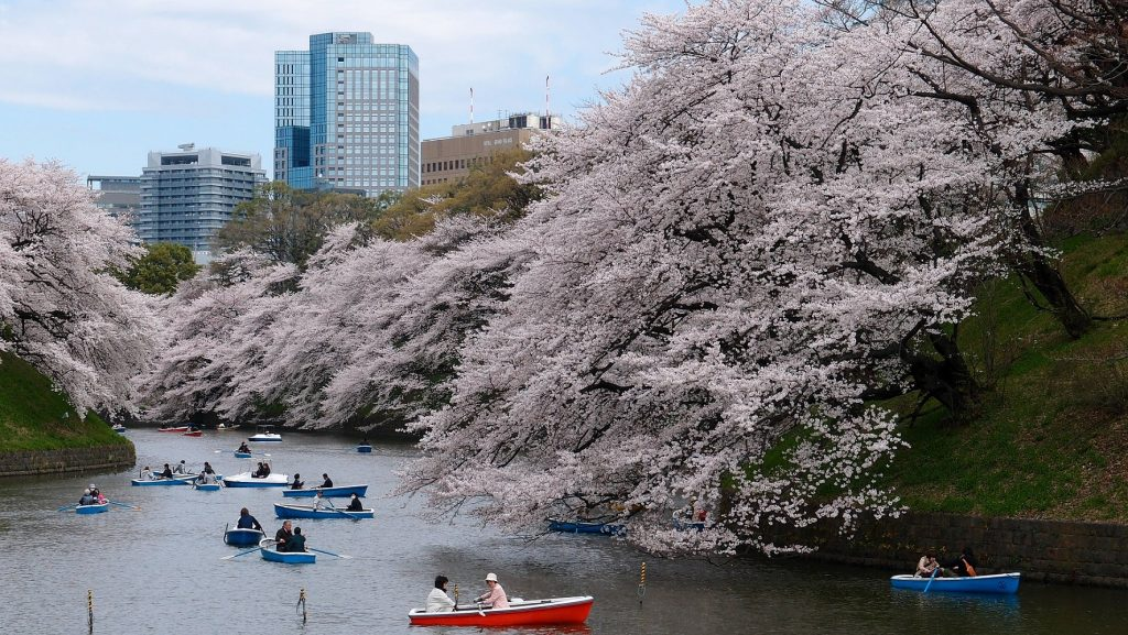 Cheery Blossom in Tokyo