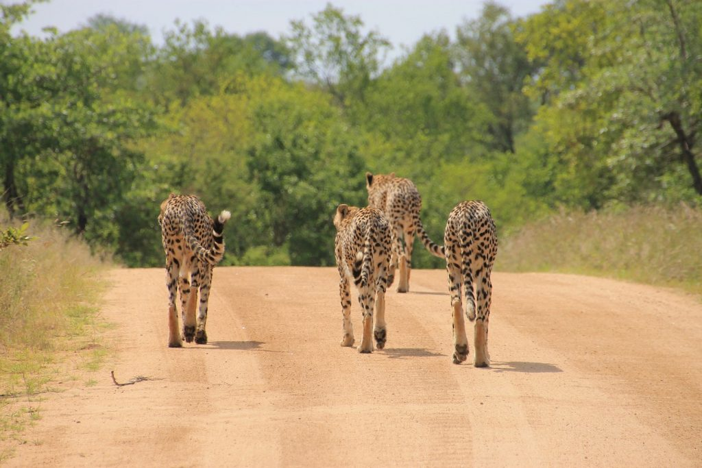 Cheetahs in Kruger National Park