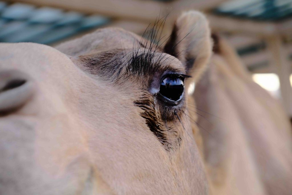 Up close and personal with a camel