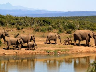 Africa Bush Elephants