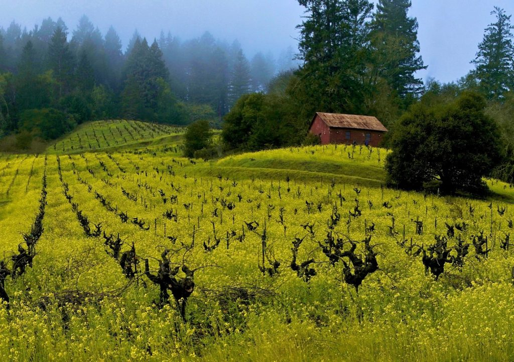 View of yellow mustard in vineyards driving through Sonoma County