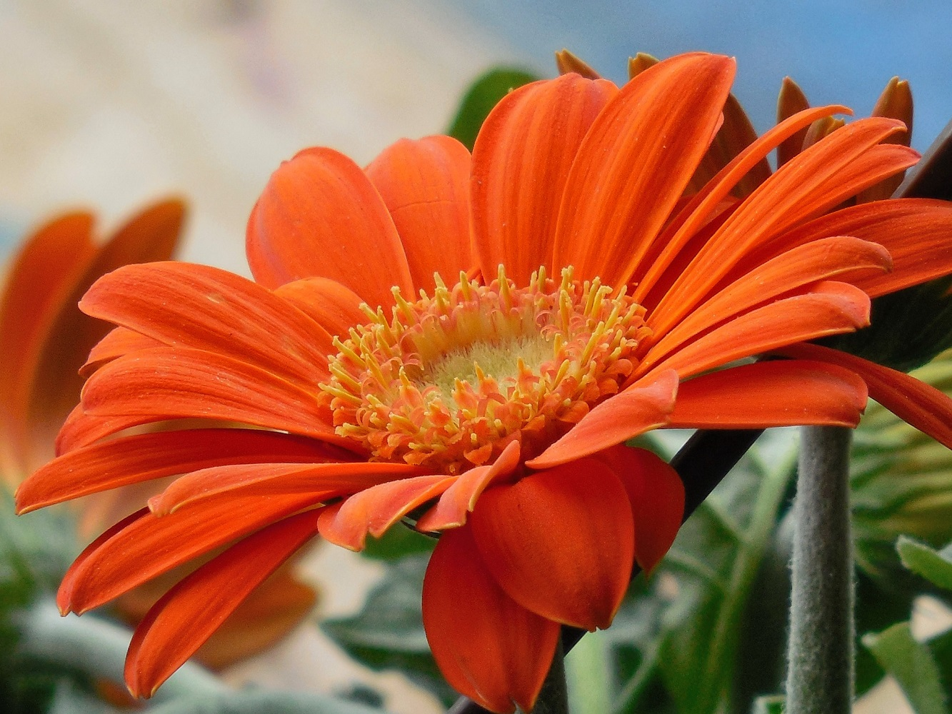 Orange Gerbera Daisy to beat pollution