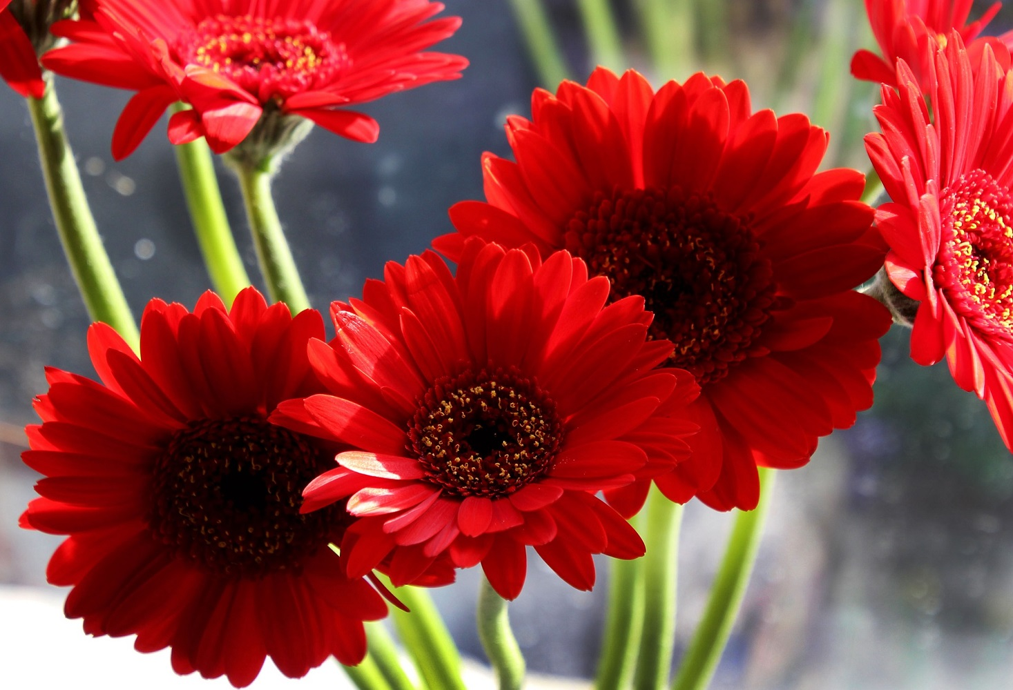 Red Gerbera Daisies absorb pollution