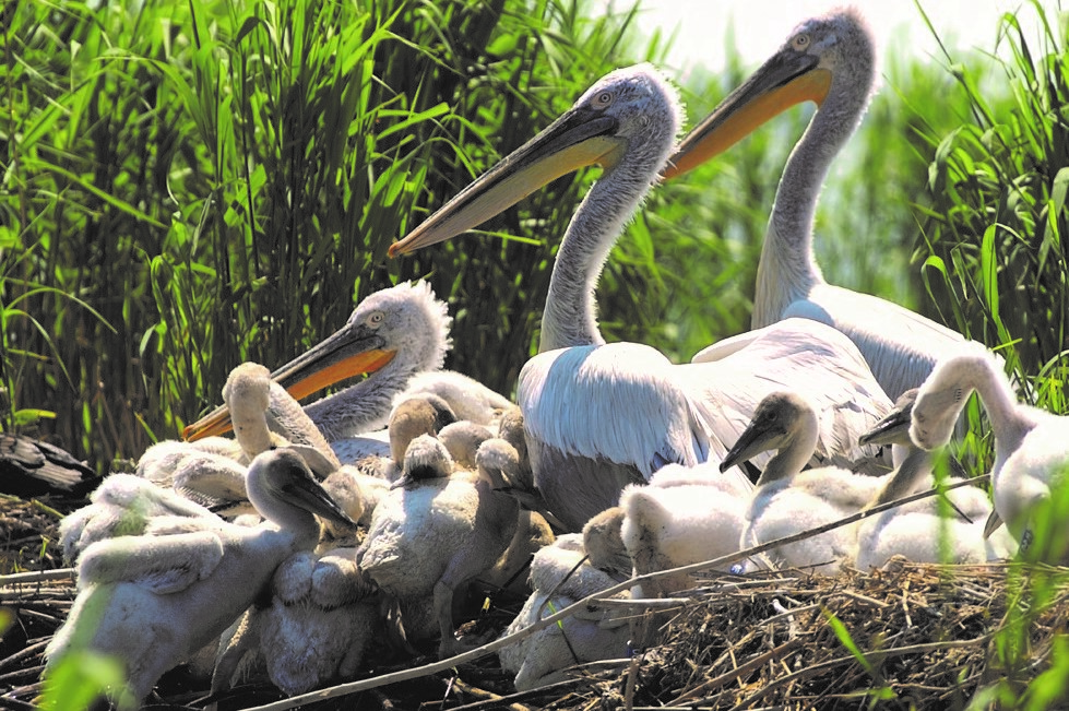 Pelicans on The Delta